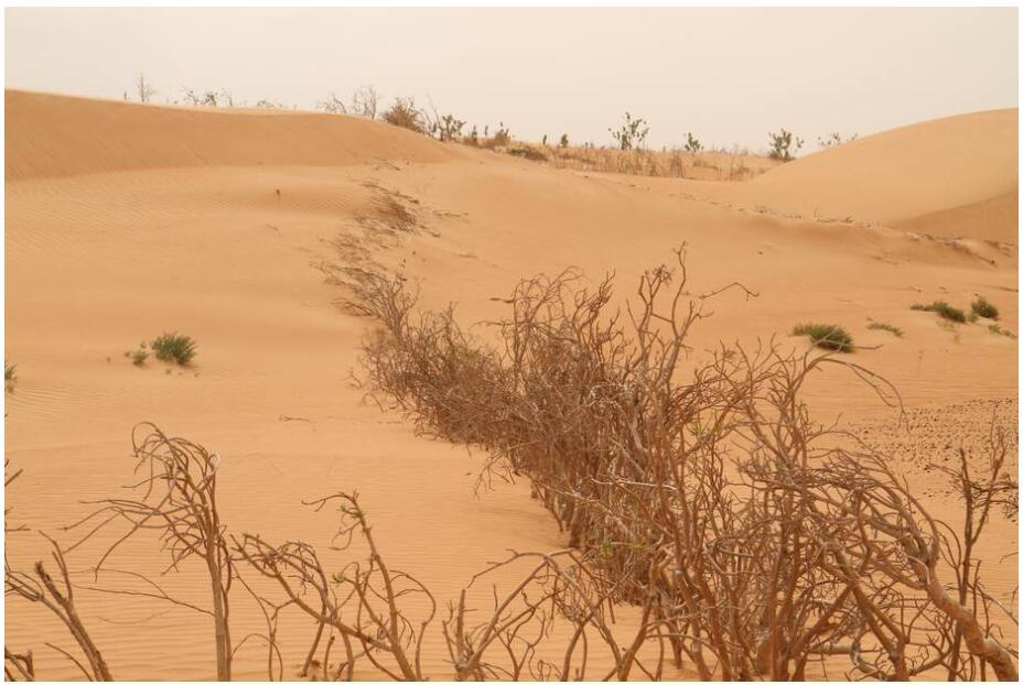 Reforestation near Nouakchott