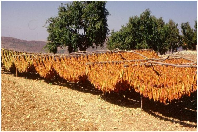 Tobacco is dried near Lattakia Syria